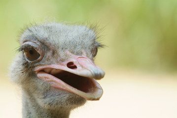 Ugly ostrich