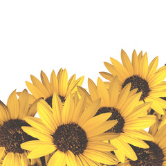 sunflowers isolated on white with space to write text