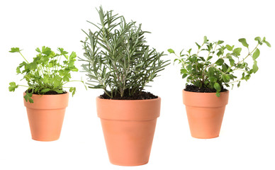 Herb Gardening With Majoram, Cilantro and Rosemary