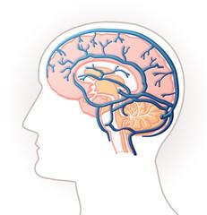 Cerveau - veines