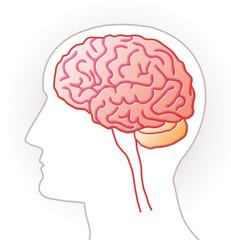 Cerveau - vue latérale