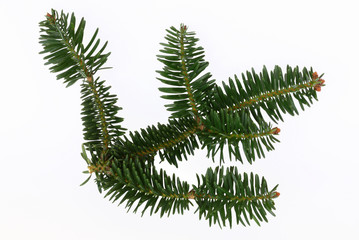 Sprig pine isolated