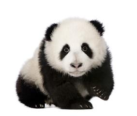 Zelfklevend Fotobehang Panda Giant Panda (4 months) - Ailuropoda melanoleuca
