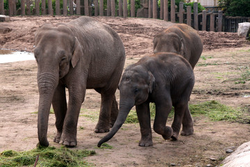 Asian, Asiatic, Indian Elephant with Calf / Baby