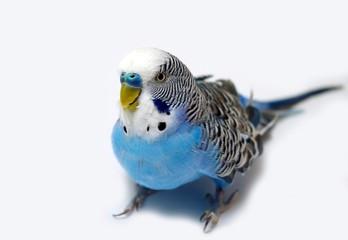 Blue wavy parrot on light background