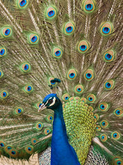 Blue Peacock showing
