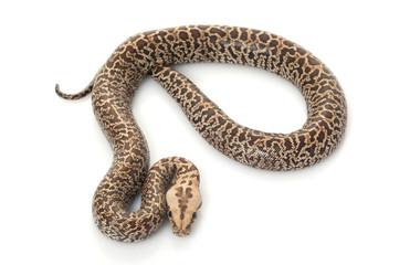 Granit Burmese Python