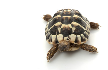 Herman's Tortoise