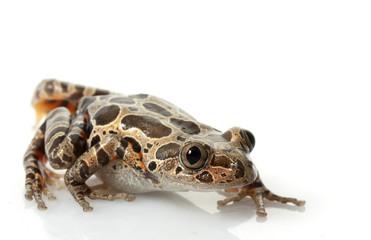 Tiger-Legged Walking Frog