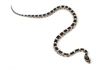 Amery Corn Snake
