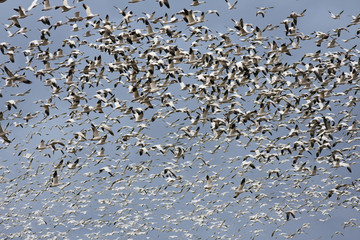 One Thousand Snow Geese