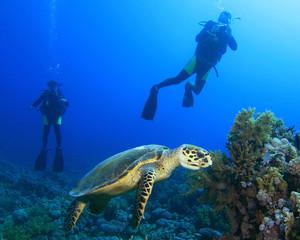 Scuba Divers observe a feeding Turtle