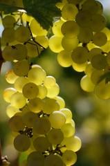 white wine grape vertical