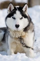 Huski looking