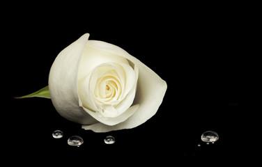White rose on black velvet