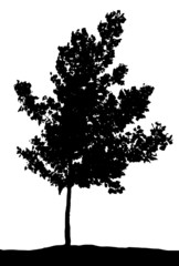 young deciduous tree