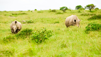 two rhinos in savanna