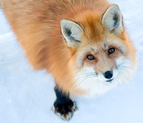 Fox is Looking Up at the Camera