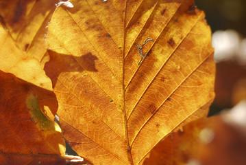 Golden Leaf in october