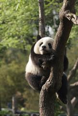 Panda cub sleeping on a tree.Version II