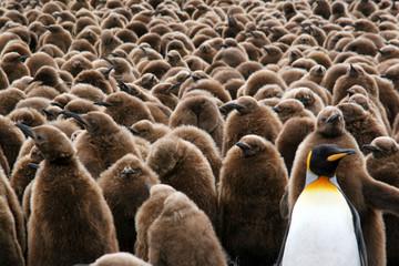 Tuinposter Pinguin Nurserie de jeunes manchots royaux
