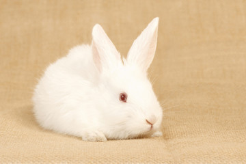 little albino rabbit