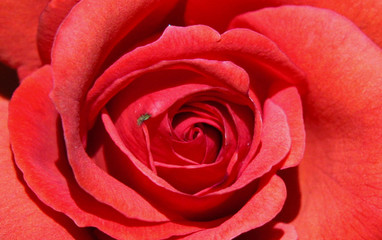 Rote Rose - Symbolbild Liebe/ Valentinstag/ red rose