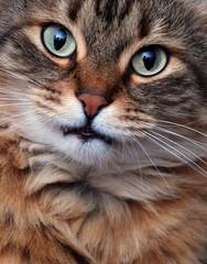 Funny Shorthair kitty