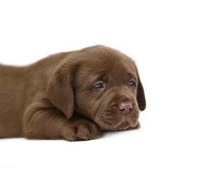 Lying puppy.