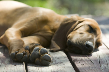 Hound dog laying on a wood porch sleeping under the sun
