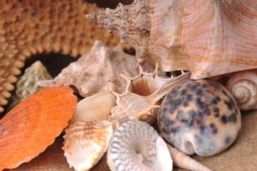 sea cockleshells