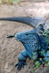 Blue Iguana 04