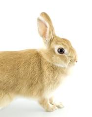 baby rabbit
