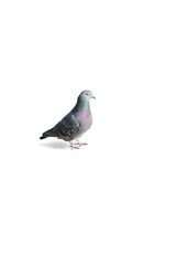 one pigeon on a white backgrownd