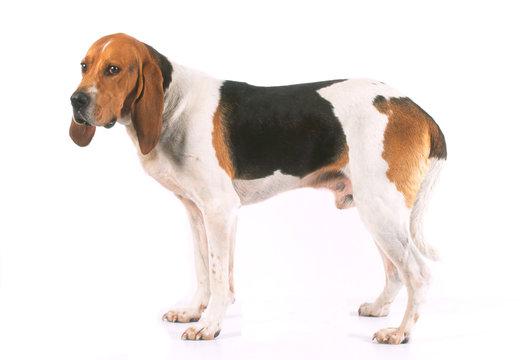 la pose de profil pour le chien d'artois en studio