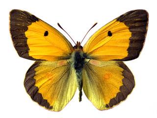 Détourage papillon le souci