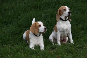 Beagle-Hündinnen