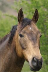 cheval hanovrien