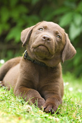 Puppy - labrador retriever