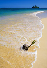 sprouting coconut washed up on the shore  in Hawaii