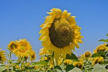 Sonneblume - Die Königin