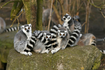 Group of ring-tailed lemurs looking at you