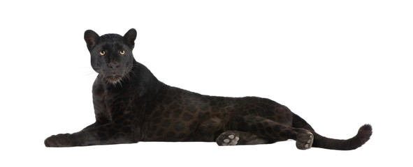 Canvas Prints Black Leopard (6 years)