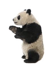 Zelfklevend Fotobehang Panda Giant Panda (18 months) - Ailuropoda melanoleuca