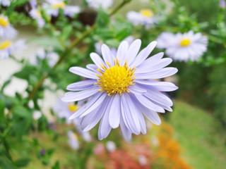 close-up of violet flower on field
