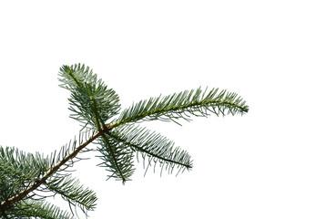 świerkowa gałązka, spruce branch