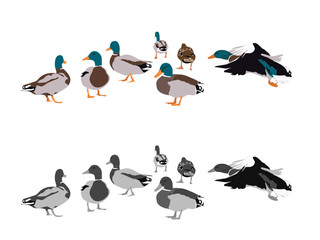 flock of mallards, two color versions