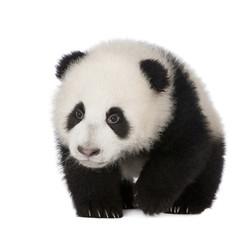 Autocollant pour porte Panda Giant Panda (6 months) - Ailuropoda melanoleuca