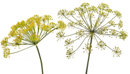 Fennel flower on white background