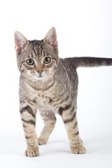 striped kitten, isolated on white